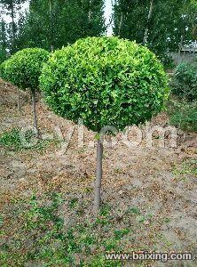 高杆卫矛球苗木