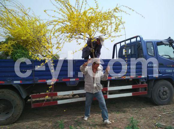 天津市蓟州区大型绿化各种公园绿化苗木树苗木基地出售买卖购销批发销售市场有限公司13602182884