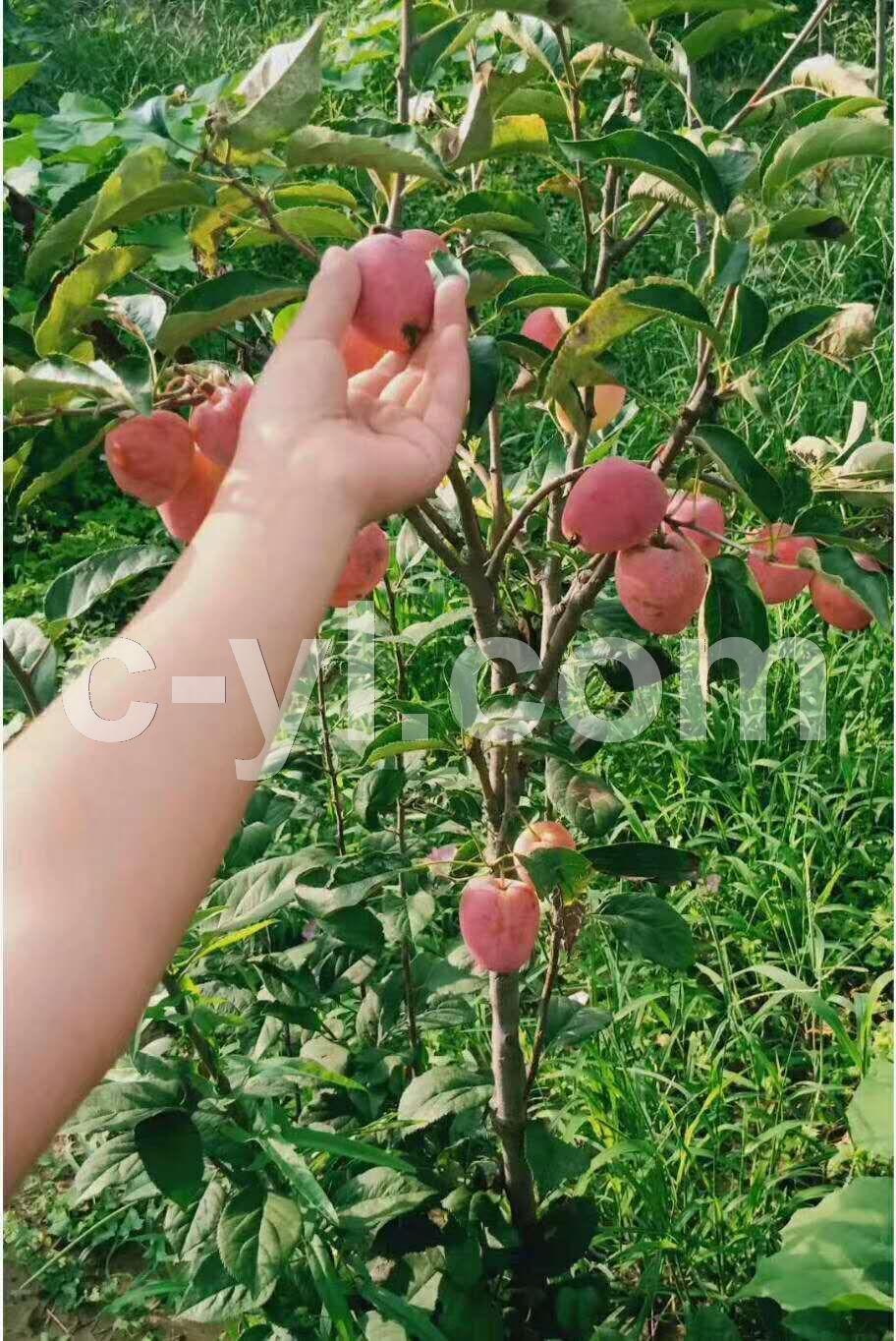 沙果树 苗木