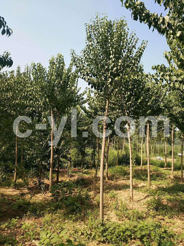 丝棉木 苗木