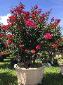 紫薇树-玫红盆景树