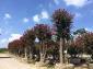 紫薇树-多杆树