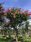 紫薇树-原生紫薇树